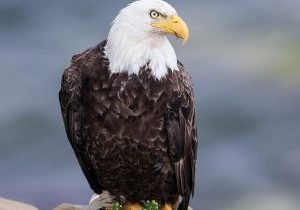 bald-eagle-on-a-cliff-michel-soucy[1]